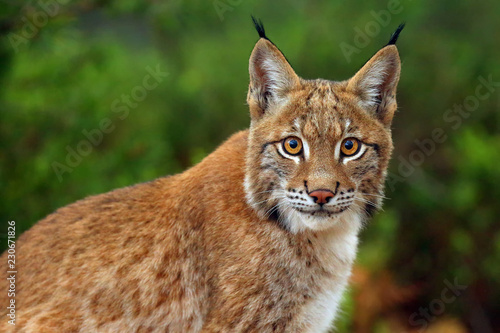 Canvas Prints Lynx The Eurasian lynx (Lynx lynx), portait. Siberian lynx portait.