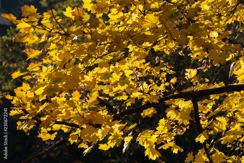 Keuken foto achterwand Bomen Yellow leaves on trees, autumn