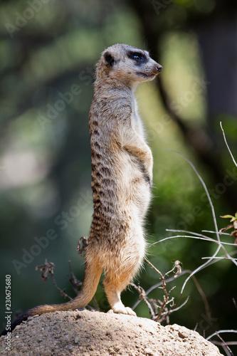 Fotografie, Obraz  Meerkat Standing Profile