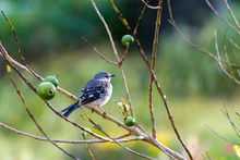 Young Northern Mockingbird (Mimus Polyglottos) Perched On A Guava Fruit Tree Branch In Jamaica.