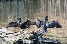 Two Double-crested Cormorants With Outstretched Wings On A Log In A Pond.
