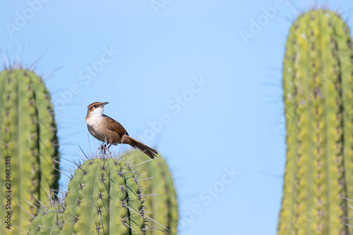 Chaco Earthcreeper perching on a cactus in natural habitat