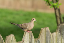 Mourning Dove On Fence