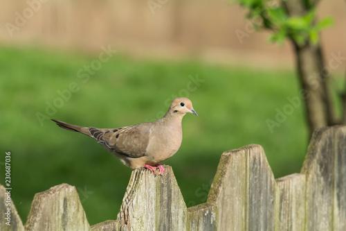 Mourning Dove on Fence