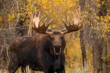 Siras Moose Bull In Fall In Wy...