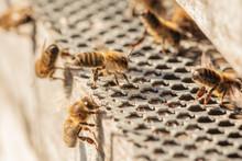 Honey Bees Returning From Fora...
