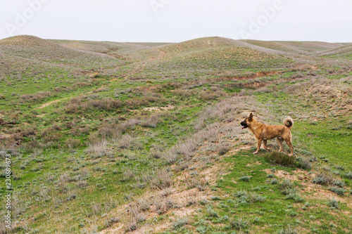 Foto  Red dog in the steppe or field, autumn