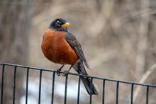 American Robin,Turdus Migratorius I