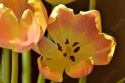 Foto auf Gartenposter Tulpen bloem van een bloeiende oranje tulp met stamper en meeldraden in de stadstuin