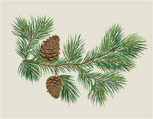 Branch Of Christmas Tree With Pine Cones