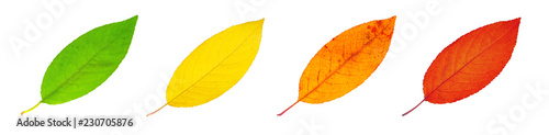 Fotografie, Obraz  Set of cherry colorful leaves isolated on white background