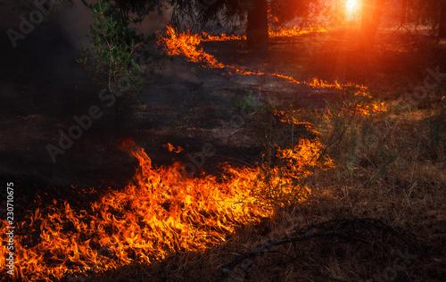 Valokuvatapetti wildfire at sunset, burning pine forest .