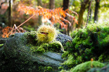 Close Up Of Green Curl Of Chestnuts, Fallen On The Remains Of A Trunk, With Different Species Of Moss, Growing On It, In The Undergrowth. Unfocused Autumnal Background. Vibrant Colors. Asturias, Spain