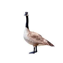 Canadian Goose Cutout Isolated...