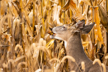 Whitetail Buck In Corn Field