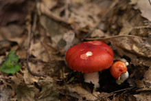 Red Mushroom In The Forest. Br...