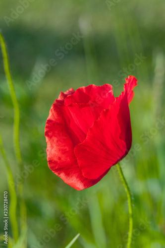 Fotobehang Poppy Red poppy flower closeup