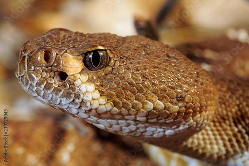 Rote Diamant-Klapperschlange (Crotalus ruber) - red diamond rattlesnake