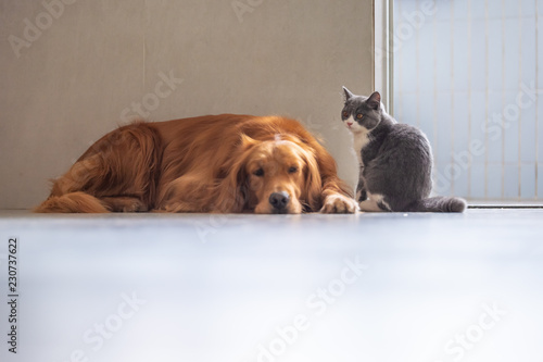 Poster Pierre, Sable Golden retriever and British short Hairy Cat