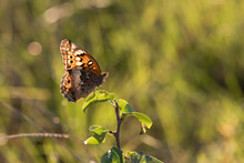 Back Lit Variegated Fritillary Butterfly Profile In Warm Evening Sun