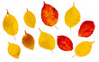 Bright colored autumn leaves. Design kit