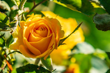 Close Up Yellow Rose And Green Leaves In Nature