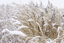 Dry Grass Under Winter Snow