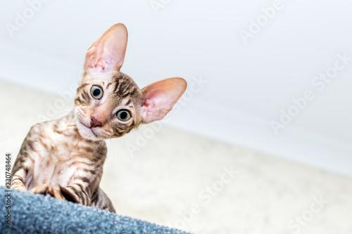 Valokuvatapetti Portrait of a funny kitten close up. Cornish Rex Breed