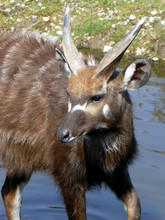 Portrait Of Sitatunga