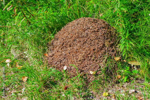 Photo Large anthill in the forest in a clearing of green grass, forest landscape in su
