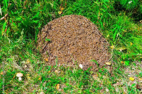 Large anthill in the forest in a clearing of green grass, forest landscape in su Canvas Print