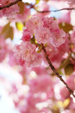 Wild cherry tree in pink blossom late spring