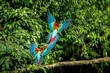 canvas print picture - Red parrots landing on branch, green vegetation in background. Red and green Macaw in tropical forest, Peru, Wildlife scene from tropical nature. Beautiful bird in the jungle.