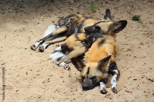 Photo sur Toile Hyène lycaons dans leur enclos