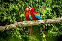 Red Parrots Grooming Each Othe...
