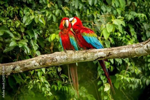 Photo  Red parrots grooming each other on branch, green vegetation in background