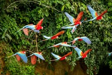 Flock Of Red Parrot In Flight....