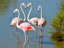 Four Flamingos (Phoenicopterus Ruber) In Water, Two Flamingos Form A Heart With Their Necks, In The Camargue Is A Natural Region Located South Of Arles In France