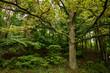 Jezioro Studzieniczne - wielkie drzewo