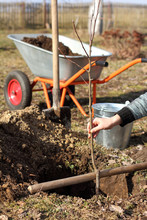 First Stage To Growing Fruit/ Planting A Young Apple Tree Seedling In A Cooked Planting Pit In The Garden