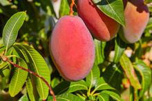 Mango Tree With Hanging Mango ...