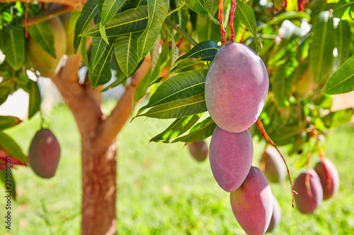 Cuadros en Lienzo Mango tree with hanging mango fruits