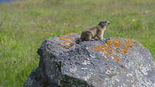 Marmotta Ferma Sul Sasso, In Estate, In Montagna