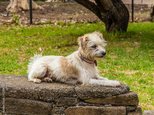 Wiry Jack Russell Terrier Lying On A Wall Buy This Stock Photo