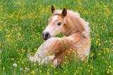 Fototapeta Horses - Haflinger horse foal resting amidst buttercup flowers