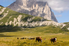 Group Of Wild Horses Close Up With Background Of Mountain Corno Grande In Campo Imperatore - Abruzzo - Italy