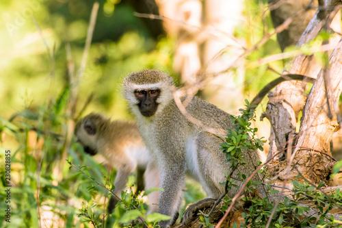 Door stickers Monkey Vervet apen (Chlorocebus pygerythrus) in Hammanskraal, Gauteng, Zuid-Afrika.