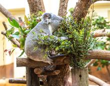 Siting Koala