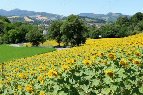 Fotografía  Country landscape with field of sunflowers  in Marche region, Italy