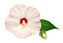 Pink Hibiscus Flower With Bud And Leaf Isolated On White Background. Flat Lay, Top View